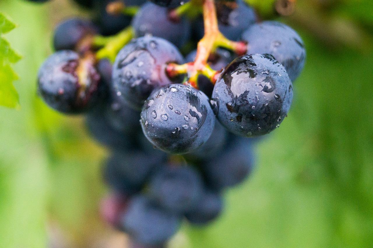 Виноград Альянико