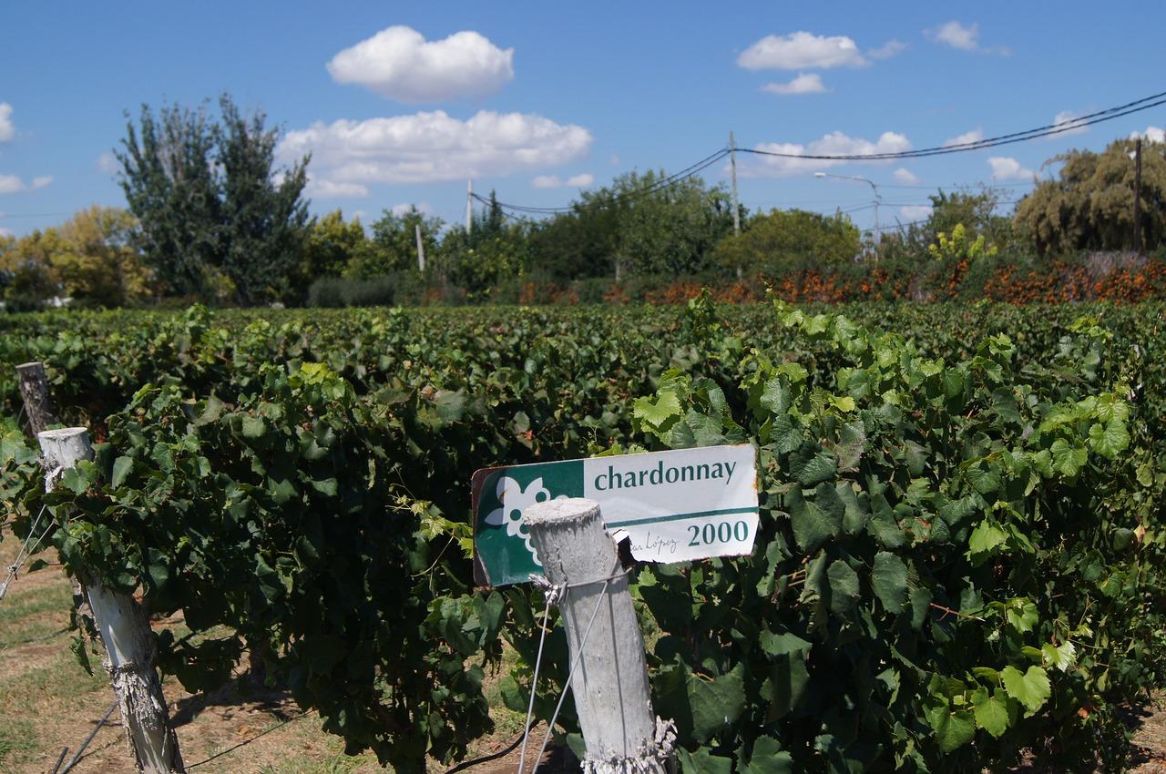 Виноград Шардоне