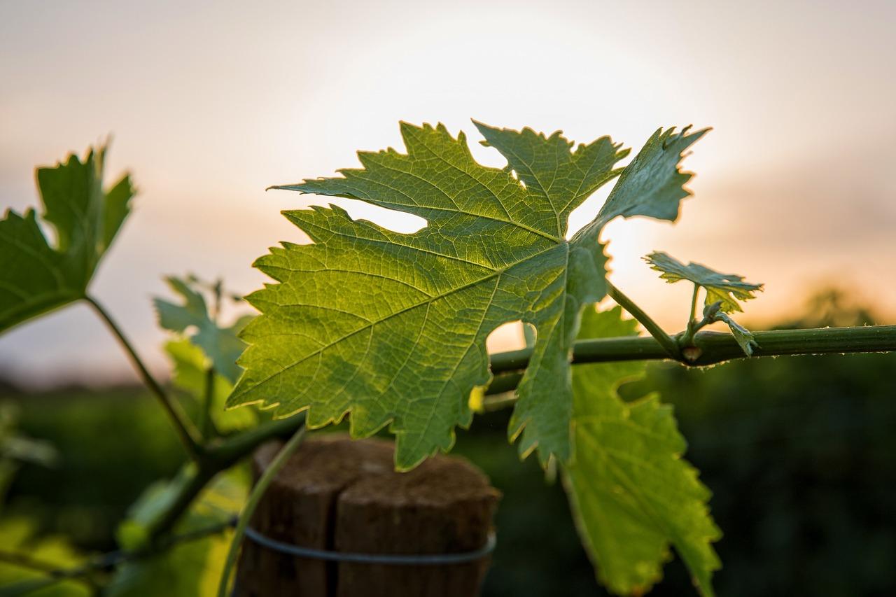 Виноград Вионье