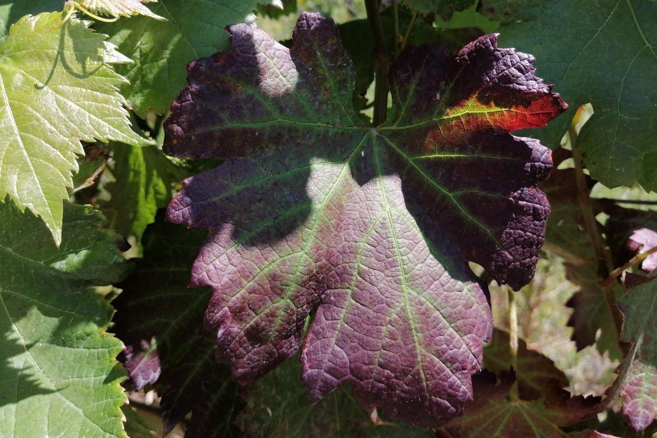 Покраснение листьев у винограда