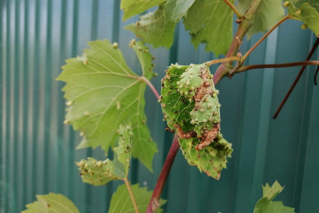 Филлоксера на винограде