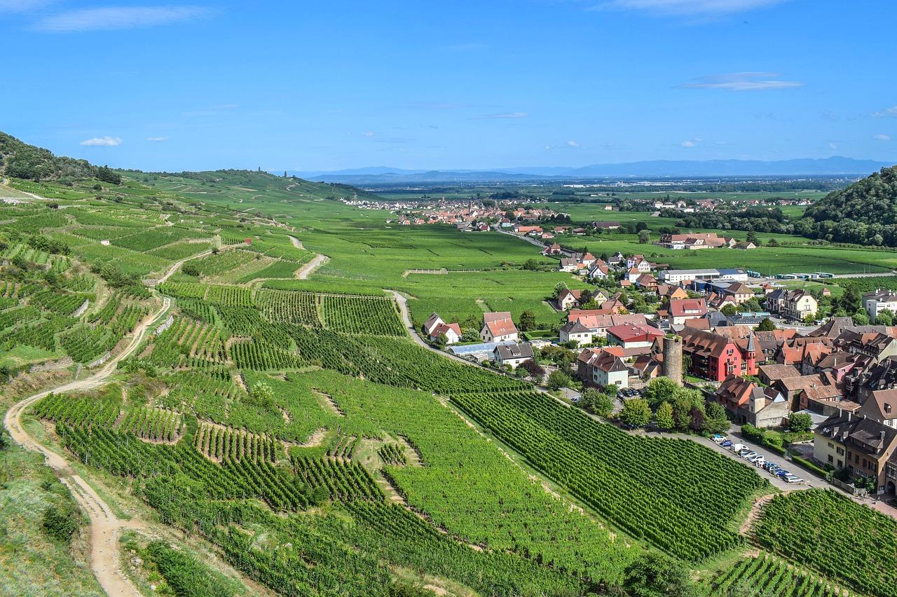 Виноград Эльзаса