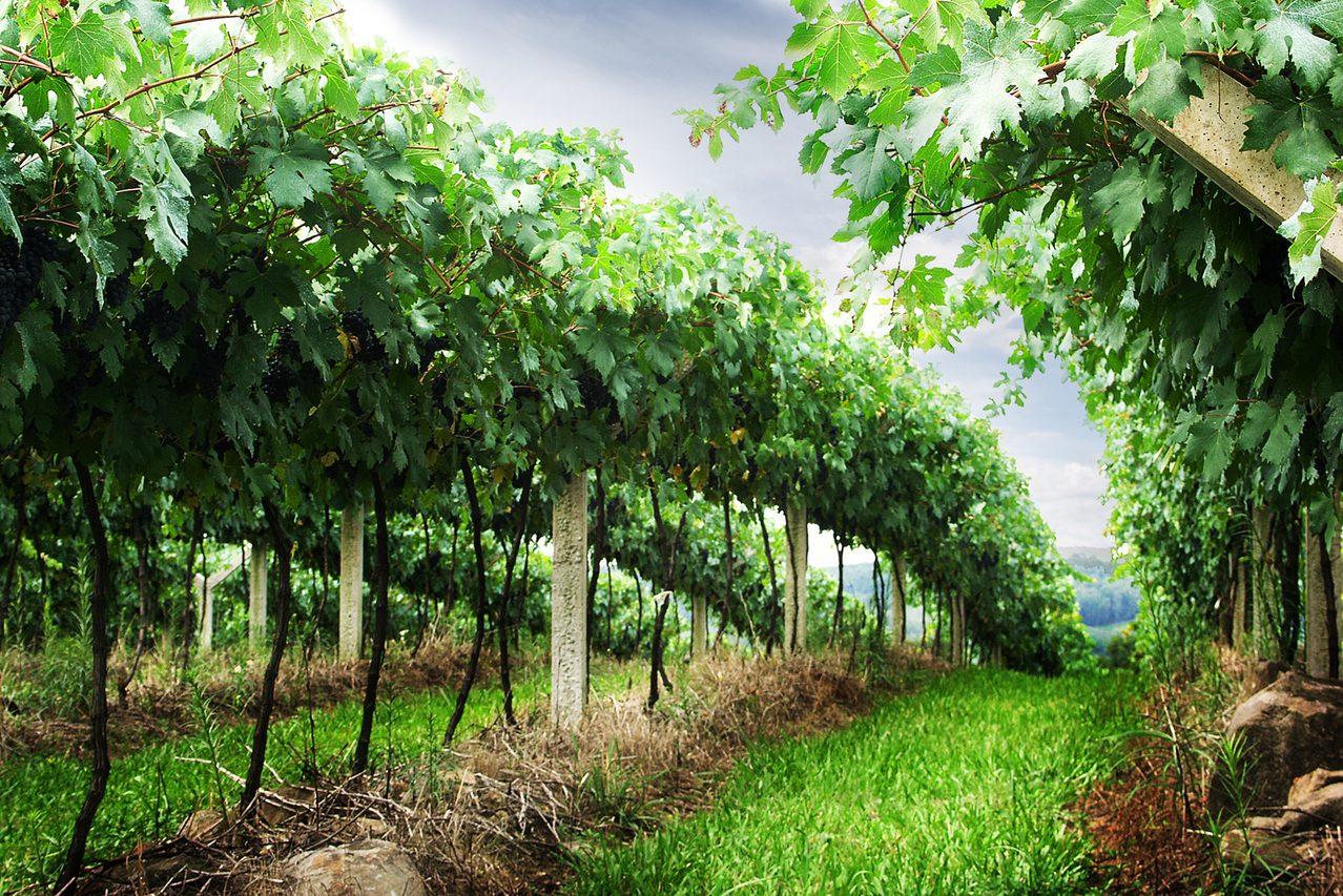 Сорта винограда устойчивые