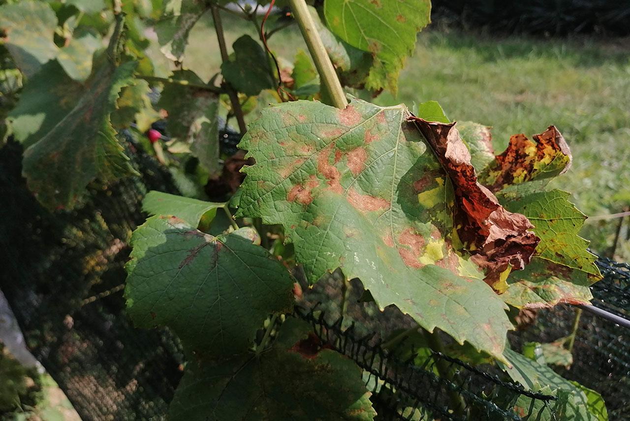 Ложная мучнистая роса на винограде (милдью)