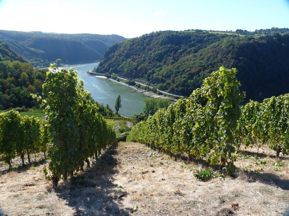 Виноград Рейна