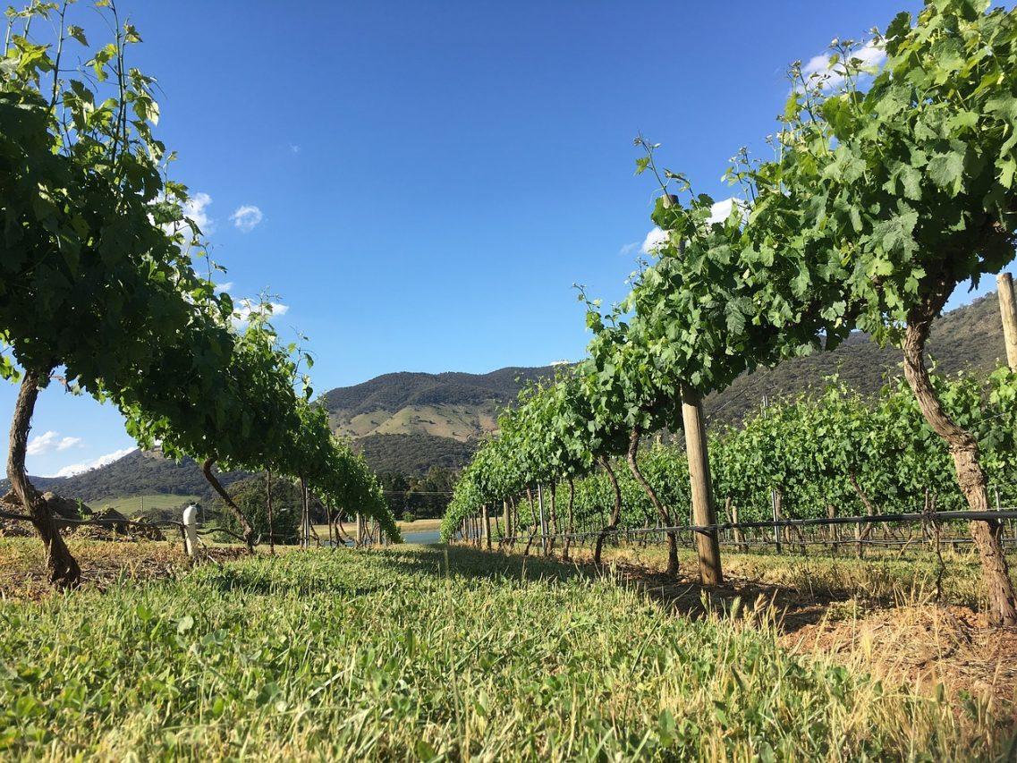 Виноград в Австралии