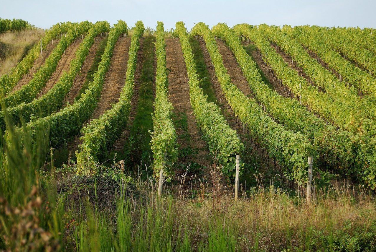 Виноград в Луаре