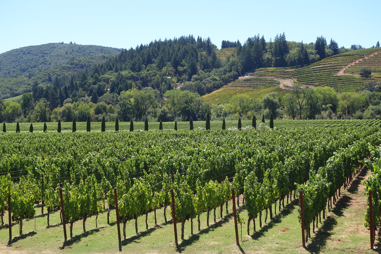 Виноград в долине Напа