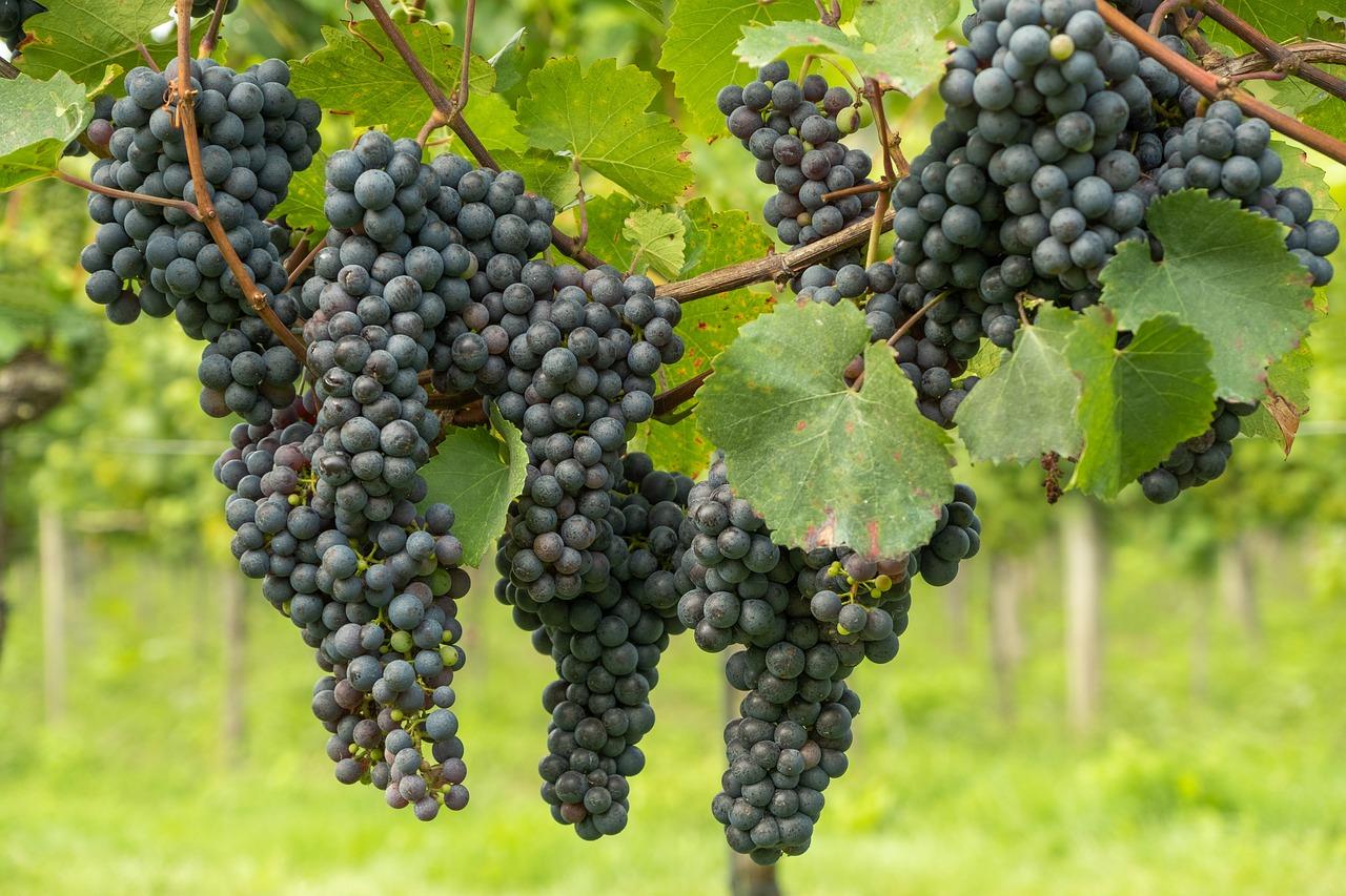 Виноградная лоза Vitis vinifera