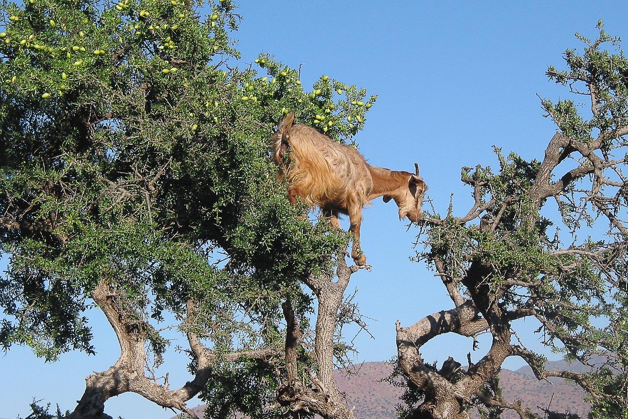 Коза на аргановом дереве