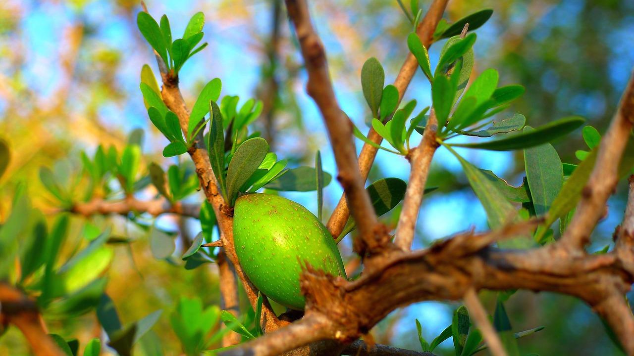 Плод арганы