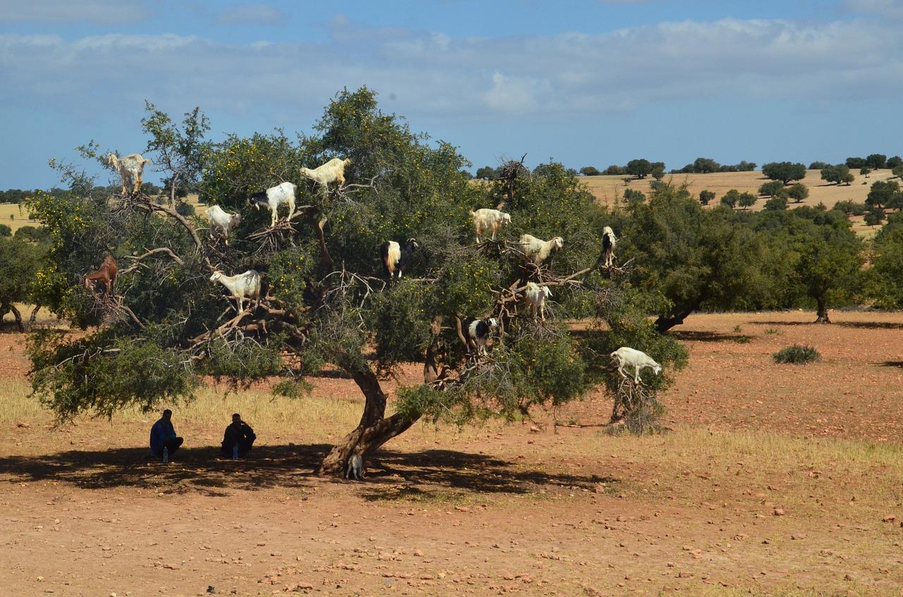 Козы на аргановых деревьях