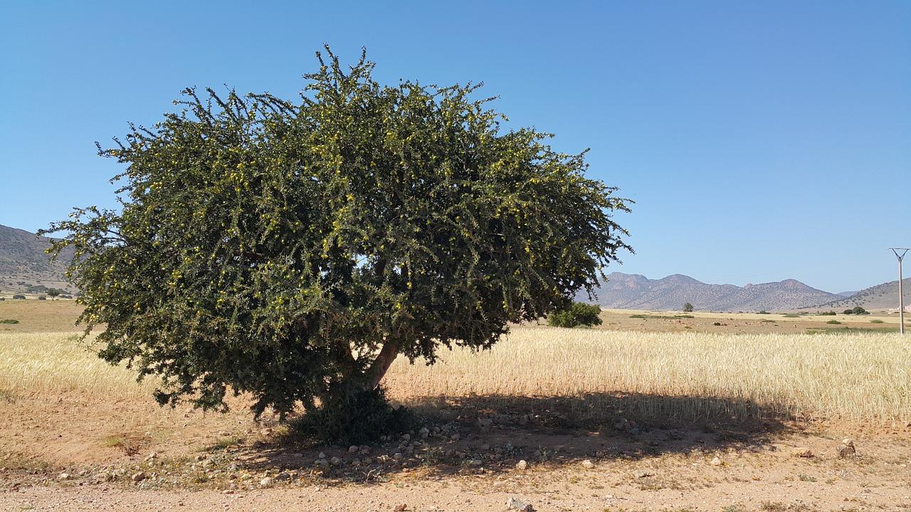 Аргановое дерево