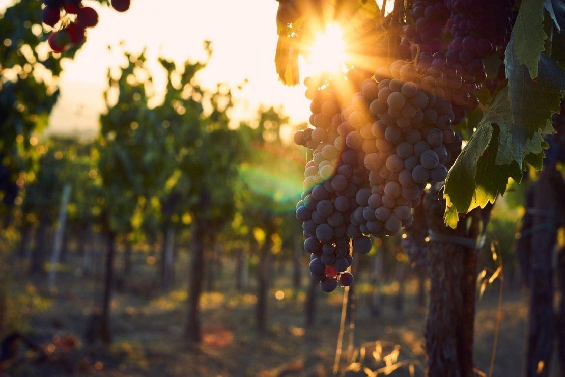 Солнце в винограднике