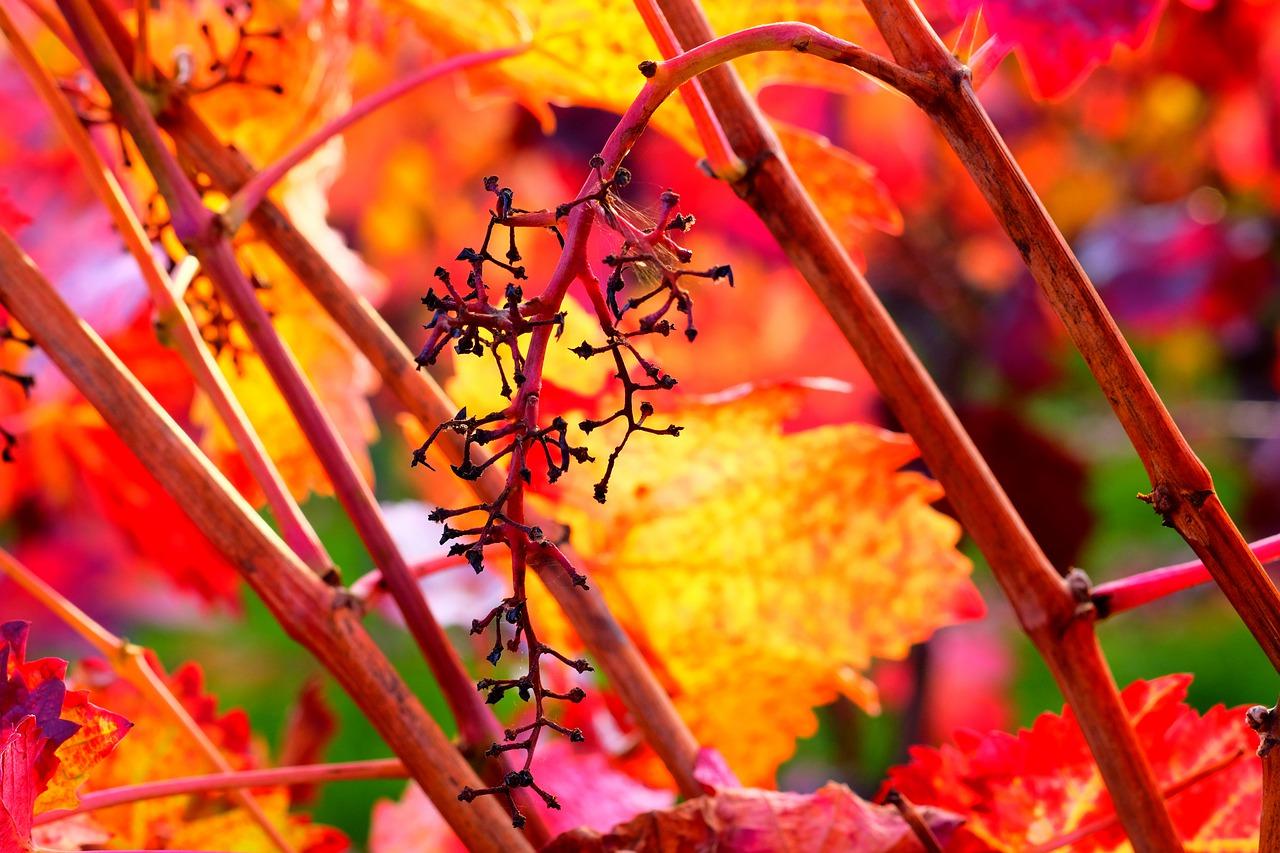 Гребни винограда