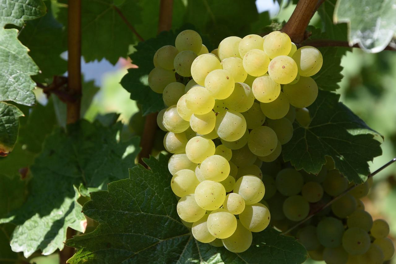 Белый технический виноград